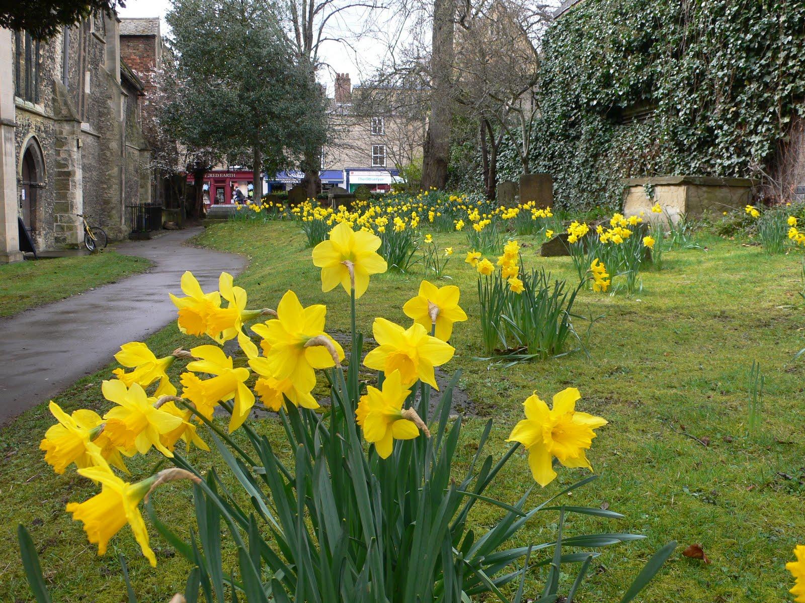 Daffodils in Oxford